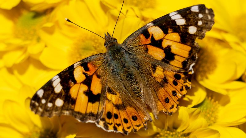 Painted Lady, Yellow flowers, Butterfly, Insects, Closeup, Wallpaper