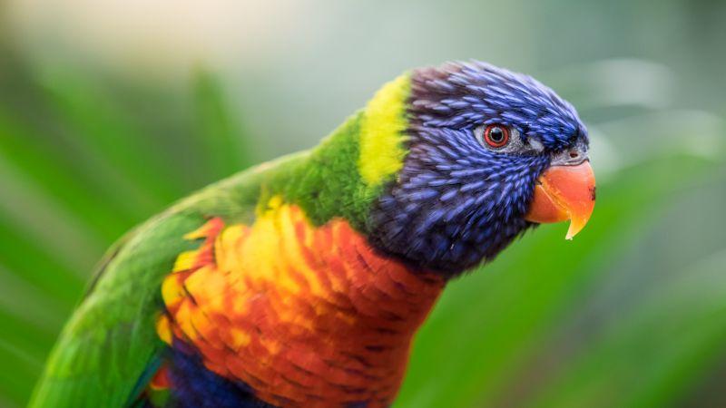 Rainbow Lorikeet, Colorful, Closeup, Bokeh, Bird, Green background, Wallpaper