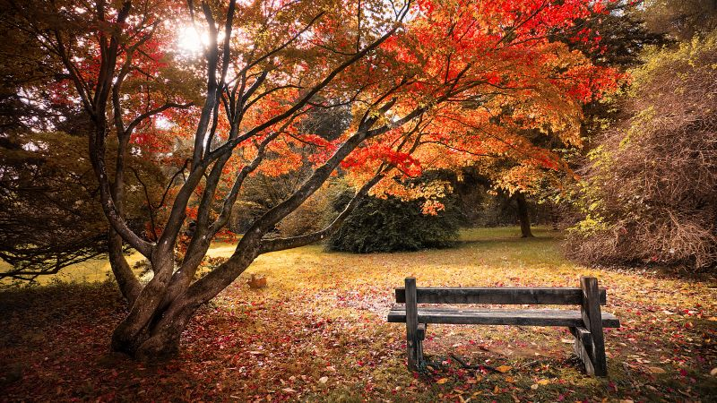 Maple trees, Autumn leaves, Wooden bench, Beautiful, Scenery, 5K, Wallpaper