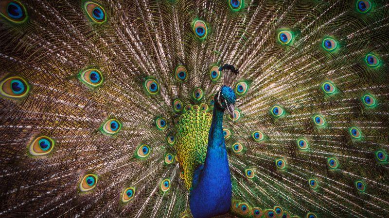 Blue Peacock, Peafowl, Beautiful, Green Feathers, Closeup, Bird, Colorful, 5K, Wallpaper