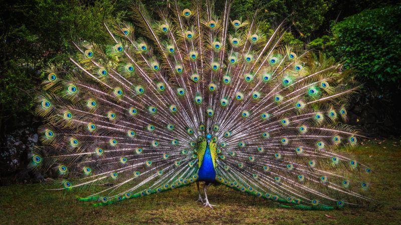 Peacock, Green Grass, Beautiful, Green Feathers, Bird, Trees, Colorful, 5K, Wallpaper