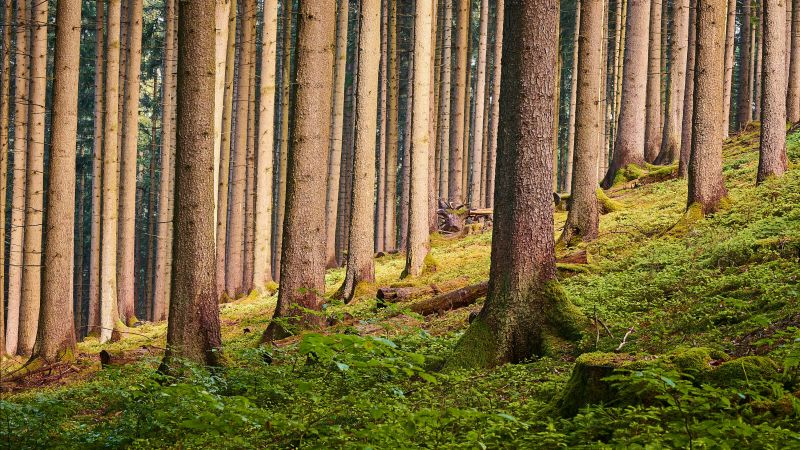 Tree Trunks, Forest, Greenery, Outdoor, Daytime, Woods, Wallpaper