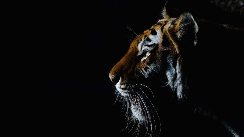 Tiger, Closeup, Dark, Black background, Big cat, Wallpaper