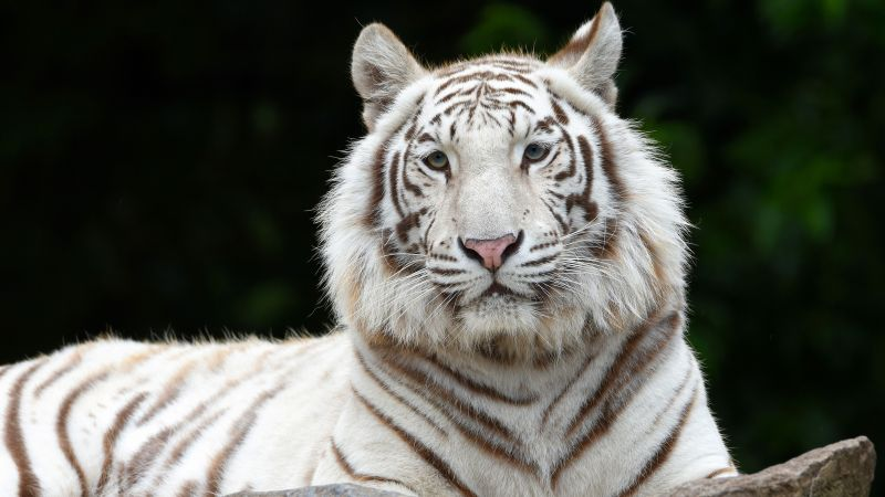 White tiger, Siberian tiger, Big cat, Wallpaper