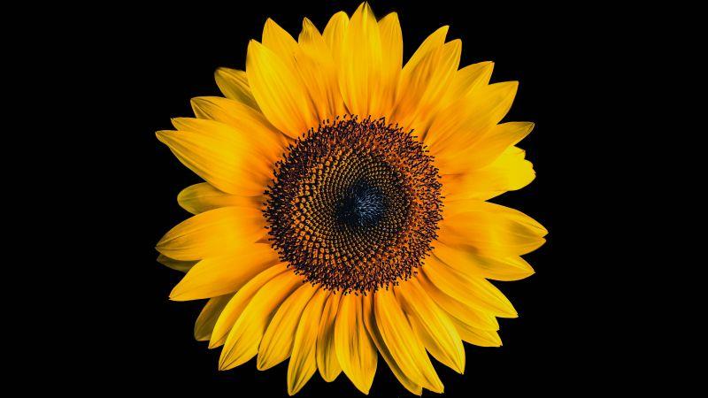Sunflower, Black background, Yellow flower, 5K, Wallpaper