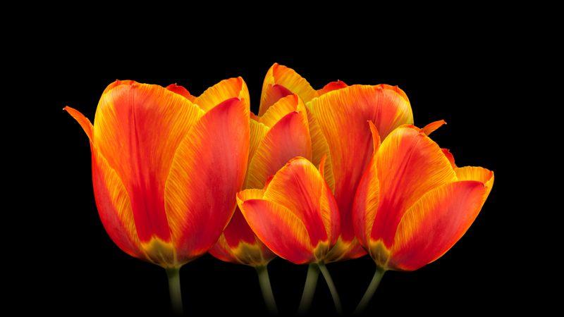 Orange tulips, Black background, Spring flowers, Colorful, Blossom, Wallpaper