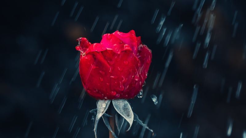 Red Rose, Rain, Water drops, Dark background, Closeup, 5K, Wallpaper