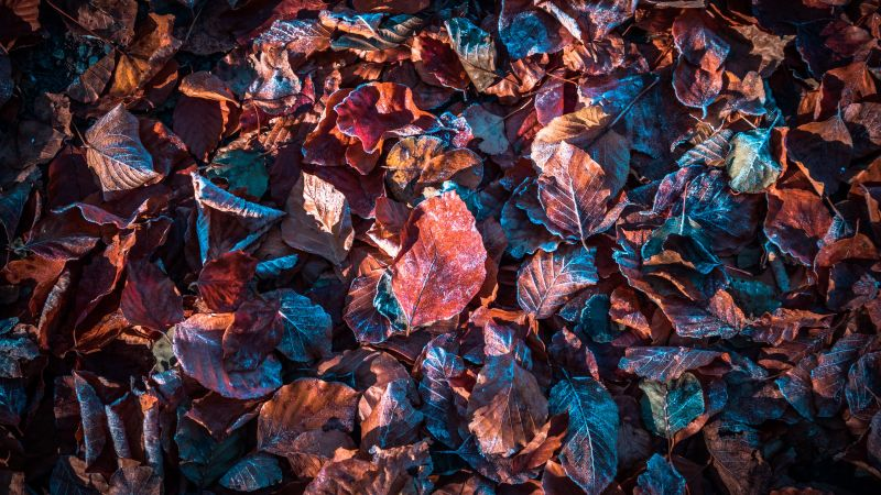 Autumn leaves, Purple, Snow, Frost, Winter, Daytime, Fallen Leaves, Foliage, 5K, Wallpaper