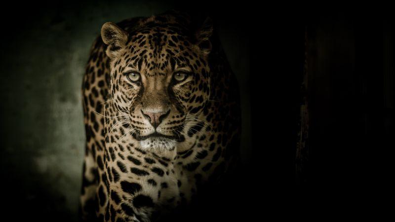 Leopard, Wild animal, Dark background, Wallpaper