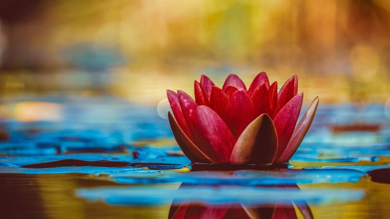 Water Lily, Red flower, Reflection, Aquatic Plant, 5K, Wallpaper