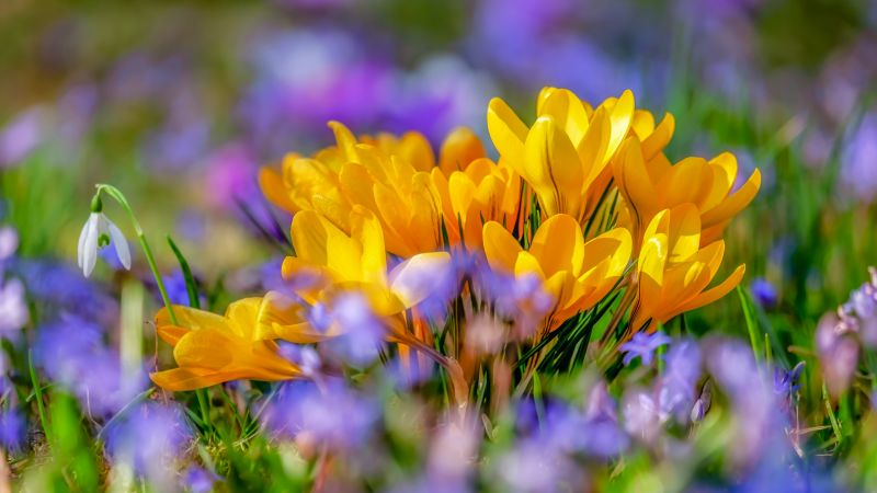 Saffron Flowers, Yellow flowers, Crocus flower, Bokeh, Colorful, 5K, Wallpaper