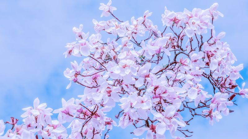 Magnolia Tulips, Pink flowers, Spring, Beautiful, Blossom, 5K, Wallpaper