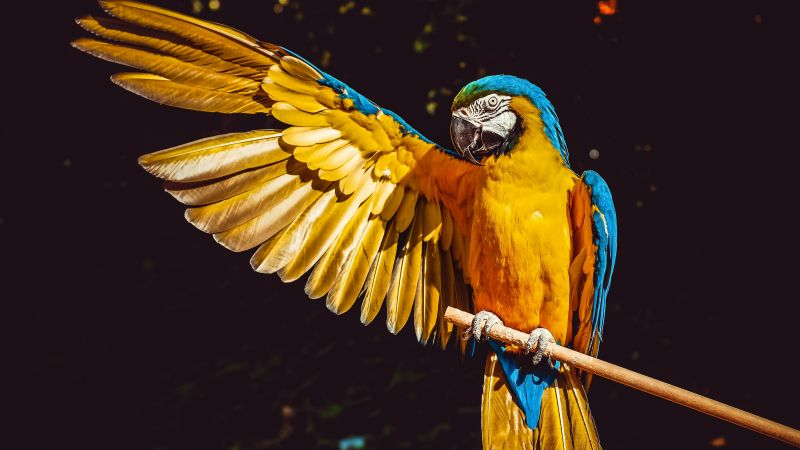 Yellow Macaw, Bird, Colorful, Parrot, Black background, 5K, Wallpaper