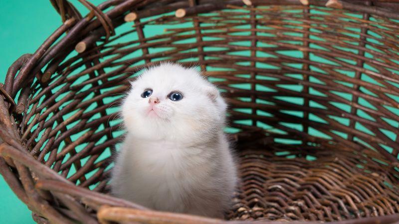 White cat, Kitty, Basket, Puppy, Blue background, Pet, Cute Kitten, 5K, Wallpaper