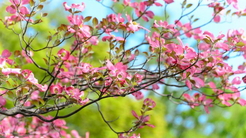 Pink flowers, Spring, Bokeh, Beautiful, Green, Bloom, 5K, Wallpaper