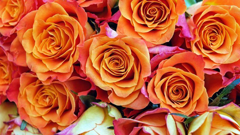 Rose flowers, Orange flowers, Bloom, Garden, Colorful, Floral, Closeup, 5K, Wallpaper