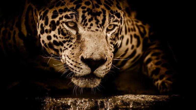 Jaguar, Wildcat, Black background, Wild animal, Carnivore, 5K, Wallpaper