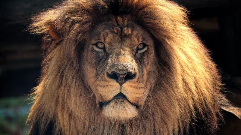 African Lion, Wild animal, Brown Lion, Closeup, Wallpaper