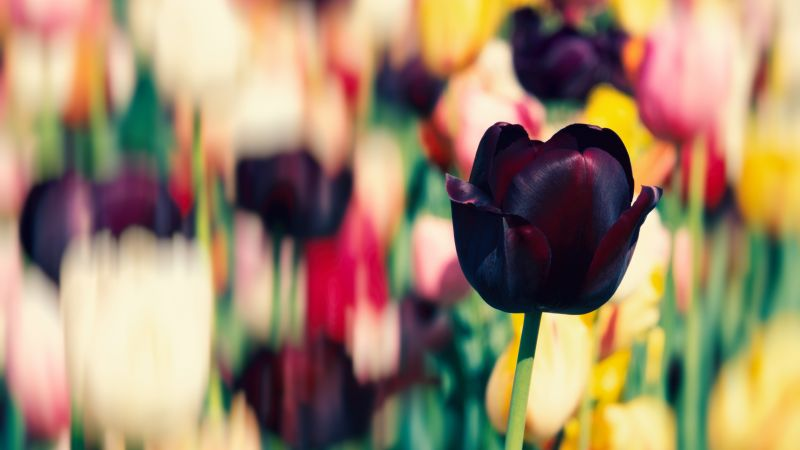 Tulip flowers, Purple, Tulip Field, Spring, Blossom, Bokeh, Multicolor, 5K, Wallpaper