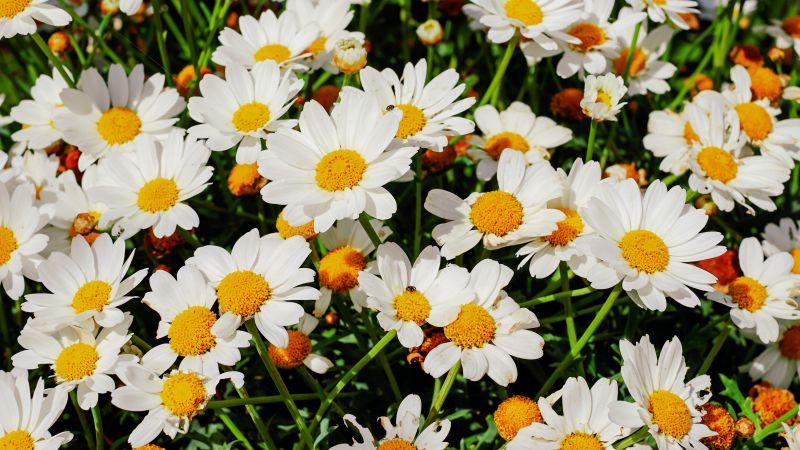 Daisies, White flowers, Bloom, Spring, Garden, Floral, Beautiful, 5K, Wallpaper