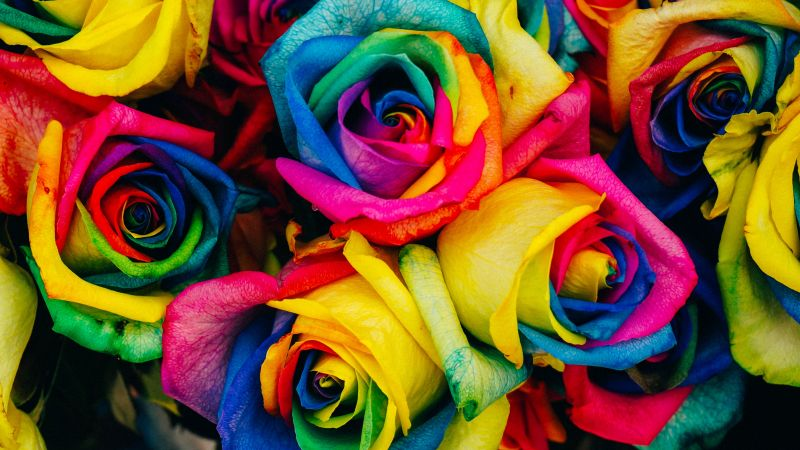 Multicolor Roses, Colorful, Floral, Closeup, Blossom, Rainbow colors, 5K, Wallpaper