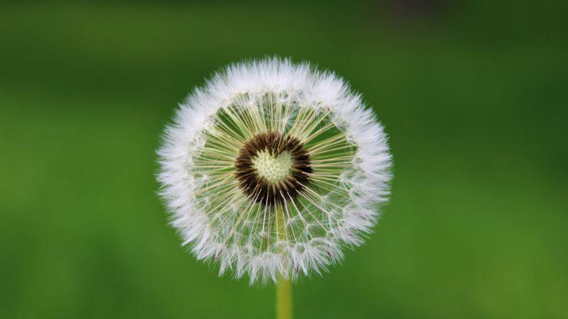 Dandelion flower, White, Green background, Aesthetic, Heart, Closeup, Beautiful, 5K, Wallpaper