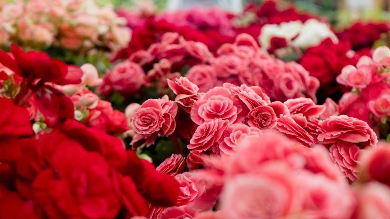 Pink flowers, Blossom, Flower garden, Colorful, Bright, Tuberous begonia, Spring, 5K, Wallpaper