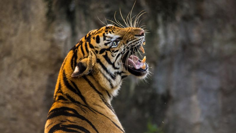 Tiger, Roaring, Big cat, Wild animal, Predator, Closeup, 5K, Wallpaper