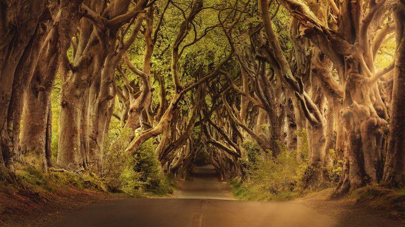 Avenue Trees, Woods, Forest path, Road, Landscape, Sunlight, Atmospheric, Wallpaper
