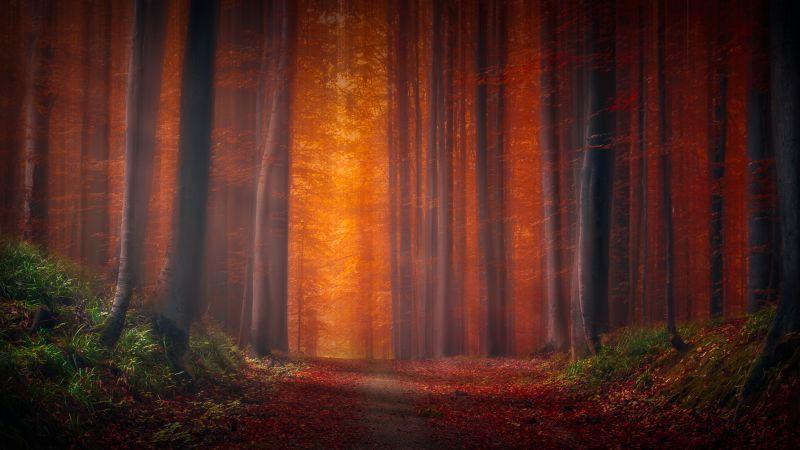 Autumn Forest, Pathway, Fallen Leaves, Sunset, Landscape, Orange, Trees, Woods, 5K, Wallpaper