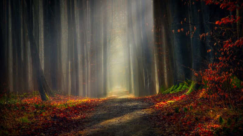 Forest path, Autumn leaves, Dirt road, Pathway, Trees, Woods, Fallen Leaves, Sunlight, 5K, Wallpaper