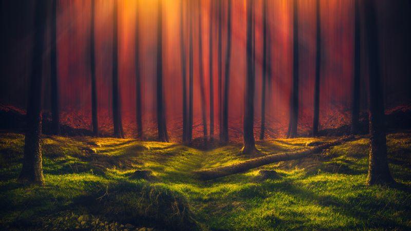 Sun rays, Forest, Grass, Woods, Tall Trees, Sunny, Orange, 5K, Wallpaper