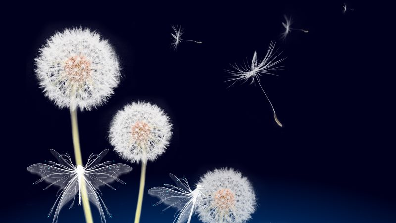 Dandelion flowers, Dandelion seeds, White Butterflies, Blue background, Plant, White flowers, Wallpaper