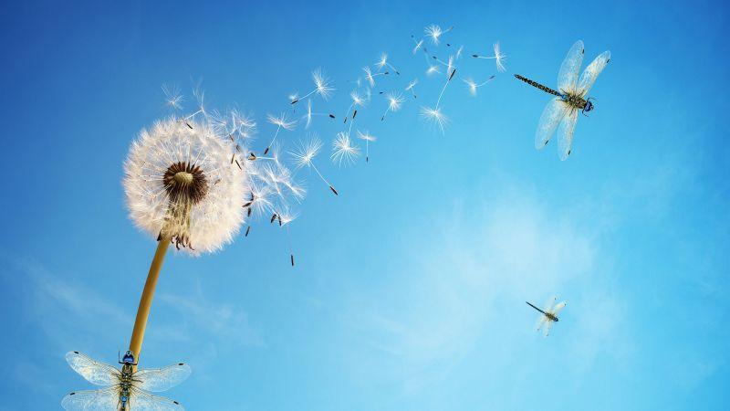 Dandelion flower, Dragonflies, Dandelion seeds, White flower, Blue Sky, Clear sky, Blue background, Wallpaper