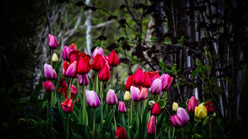 Tulip flowers, Multicolor, Colorful, Blossom, Pink, Red, Spring, Plant, Trees, Green, 5K, Wallpaper