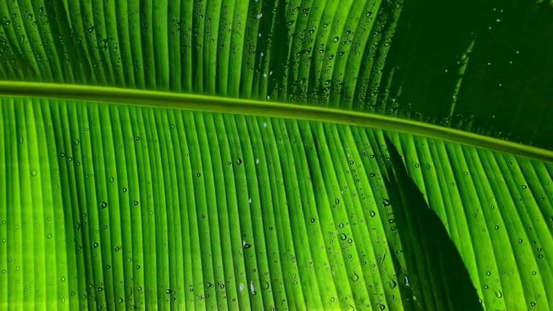 Banana Leaf, Green background, Texture, Pattern, Water drops, Closeup, 5K, Wallpaper