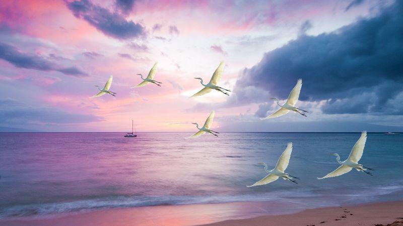 Egrets, White Birds, Beach, Sunset, Purple sky, Clouds, Ocean, Sea, Sand, Boat, Seascape, Wallpaper