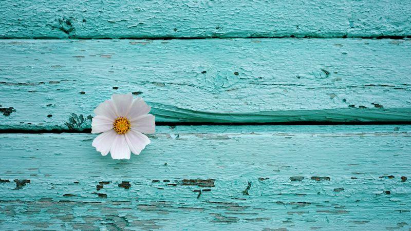 White flower, Wooden background, Teal, Turquoise, 5K, Wallpaper