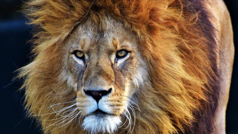African Lion, Big cat, Predator, Wild animal, Carnivore, Closeup, Wallpaper