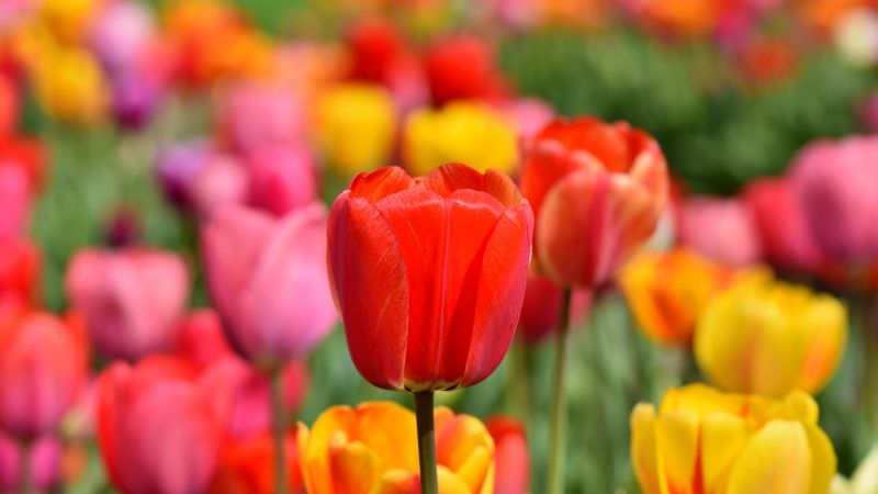 Tulip Field, Multicolor, Colorful, Flower garden, Spring, Blossom, Bloom, Red, Yellow, 5K, Wallpaper