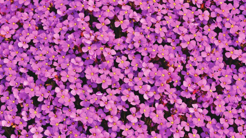 Aubrieta Flowers, Beautiful, Violet, Blossom, Spring, Bloom, Purple, Floral Background, Aesthetic, 5K, Wallpaper