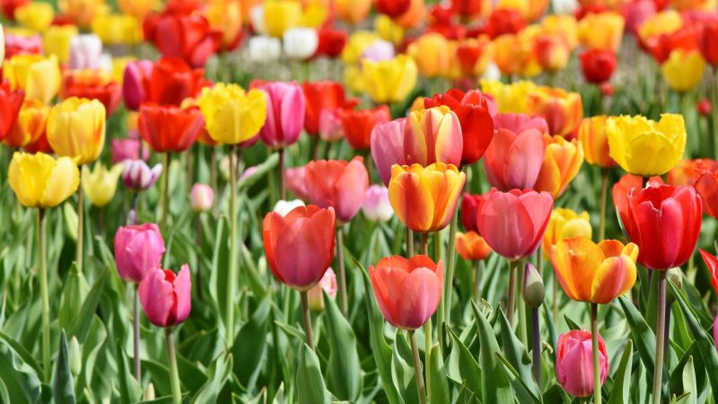 Tulip Field, Multicolor, Colorful, Red, Yellow, Flower garden, Tulip flowers, Green leaves, Blossom, Bloom, Spring, 5K, Wallpaper