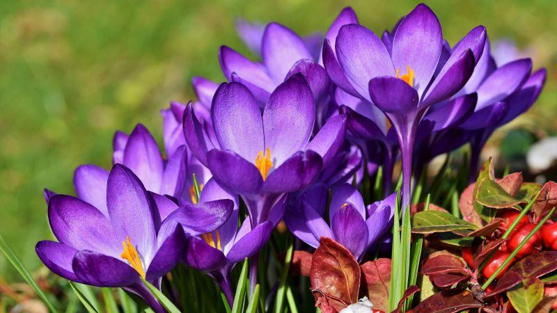 Crocus flowers, Violet flowers, Garden, Blossom, Bloom, Spring, Flora, 5K, Wallpaper