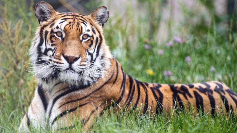 Bengal Tiger, Big cat, Predator, Green Grass, Wild animal, Zoo, Carnivore, Closeup, 5K, Wallpaper