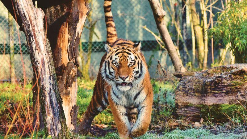 Siberian tiger, Walking, Zoo, Trees, Big cat, Carnivore, Predator, Wildlife, 5K, Wallpaper
