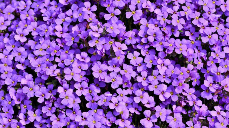 Aubrieta, Violet flowers, Blossom, Spring, Bloom, Purple, Floral Background, Aesthetic, 5K, Wallpaper