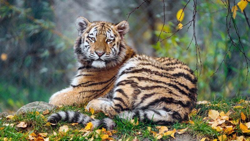 Young tigress, Carnivore, Autumn leaves, Grass, Wild animal, Zoo, Big cat, Predator, Portrait, Siberian tiger, 5K, Wallpaper