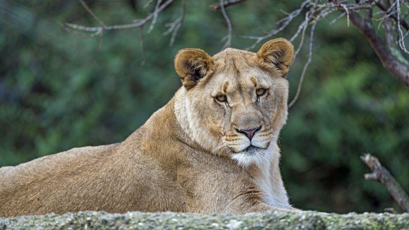 Young Lioness, Wild animal, Zoo, Predator, Carnivore, Tree Branch, Portrait, Closeup, Big cat, 5K, 8K, Wallpaper
