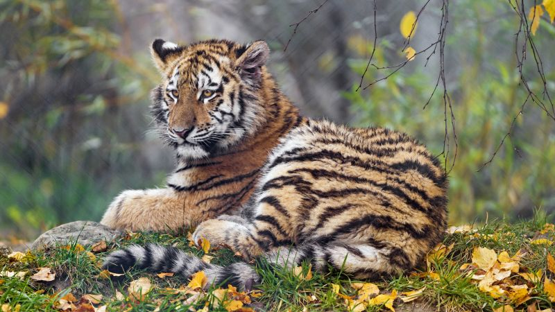 Young tigress, Autumn leaves, Green Grass, Wild animal, Zoo, Big cat, Predator, Portrait, Siberian tiger, 5K, Wallpaper