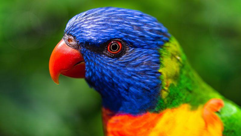 Rainbow Lorikeet, Parrot, Colorful, Bird, Multicolor, Closeup, Green background, 5K, Wallpaper